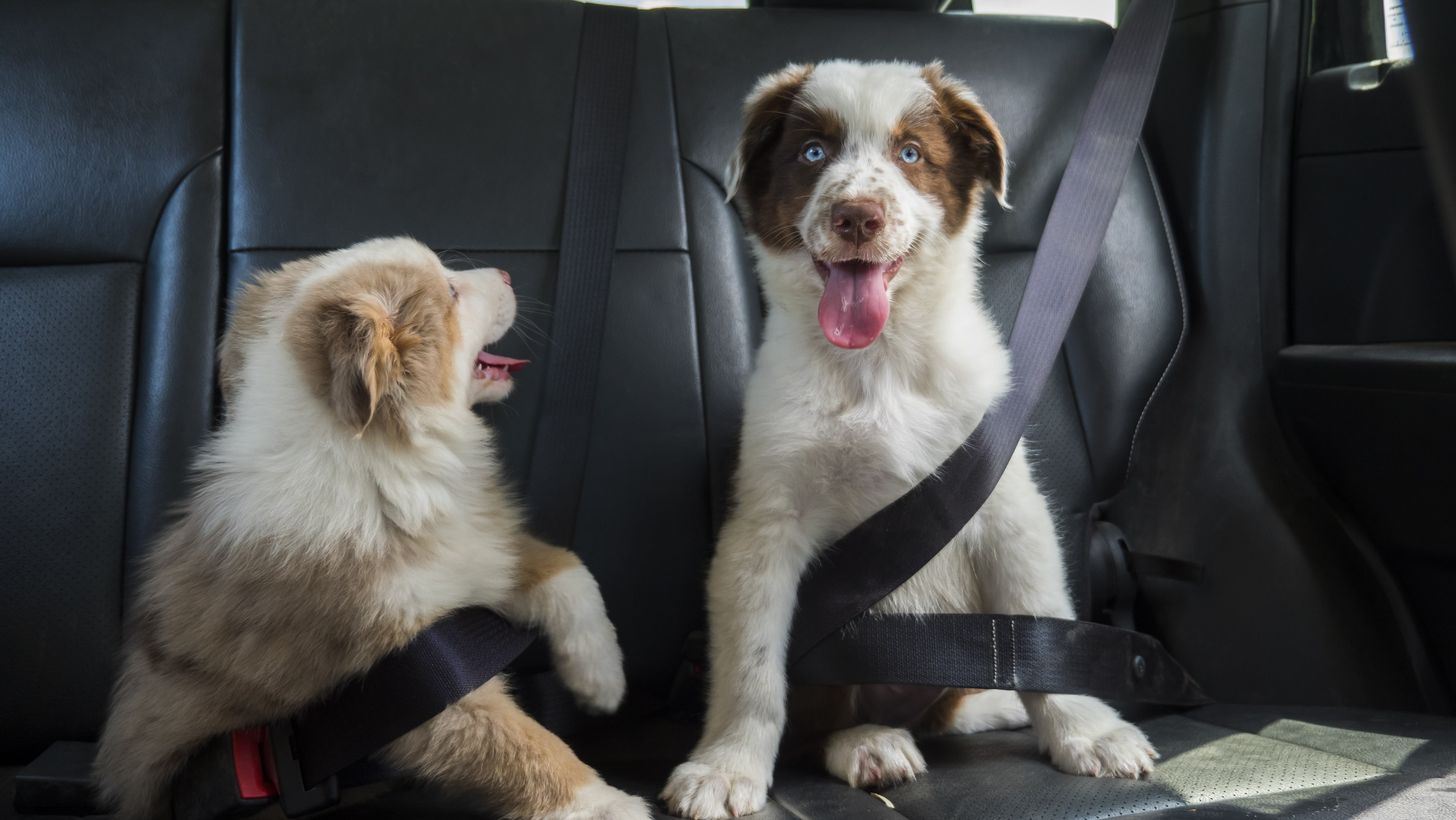 Riding With a Pet: 6 Ways to Keep Them Safe